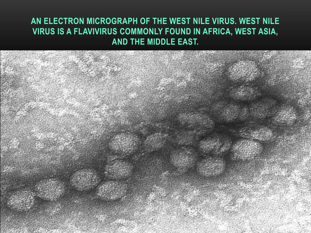 An electron micrograph of the West Nile virus. West Nile virus is a