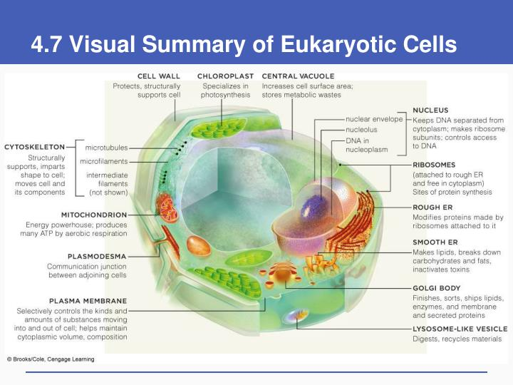 4 7 visual summary of eukaryotic cells