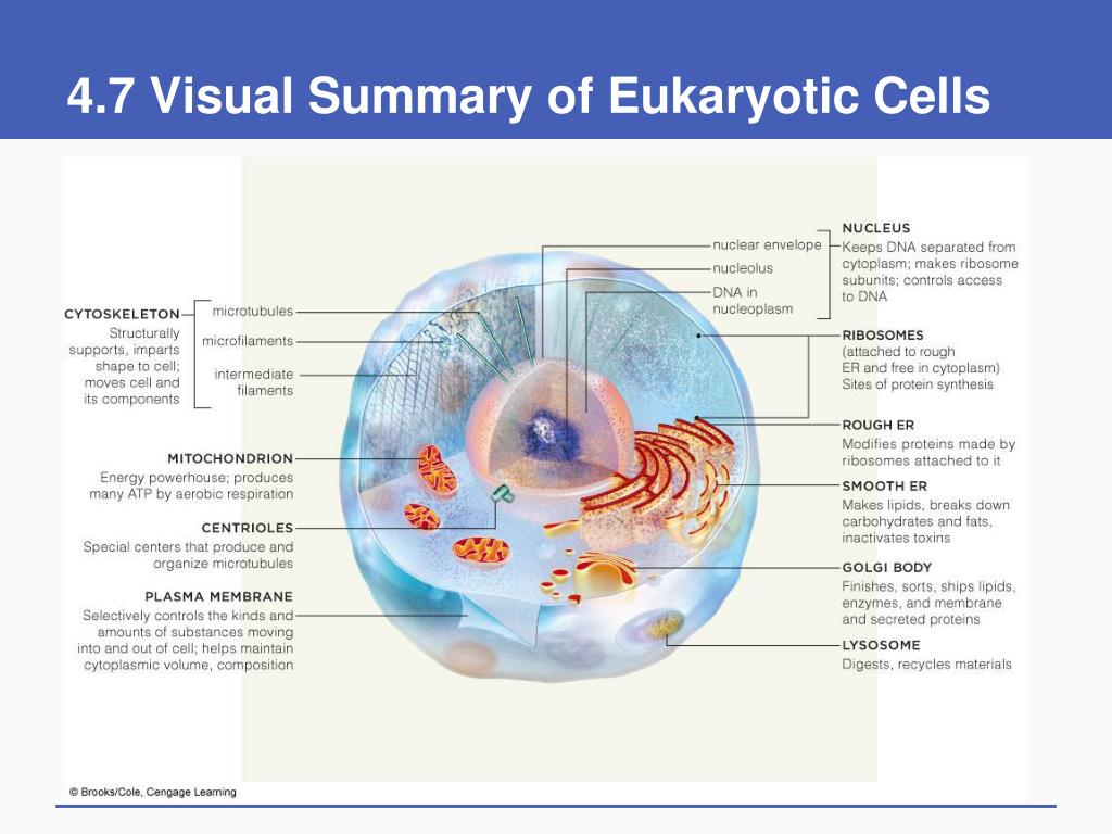 4.7 Visual Summary of Eukaryotic Cells