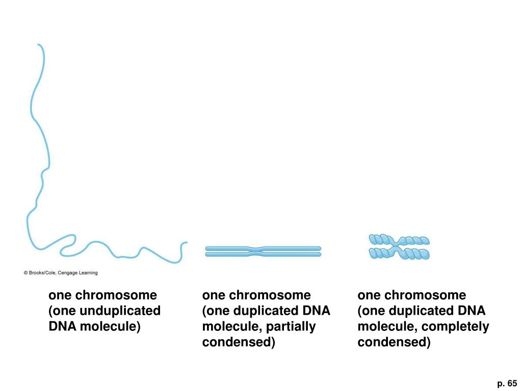 one chromosome (one unduplicated DNA molecule)
