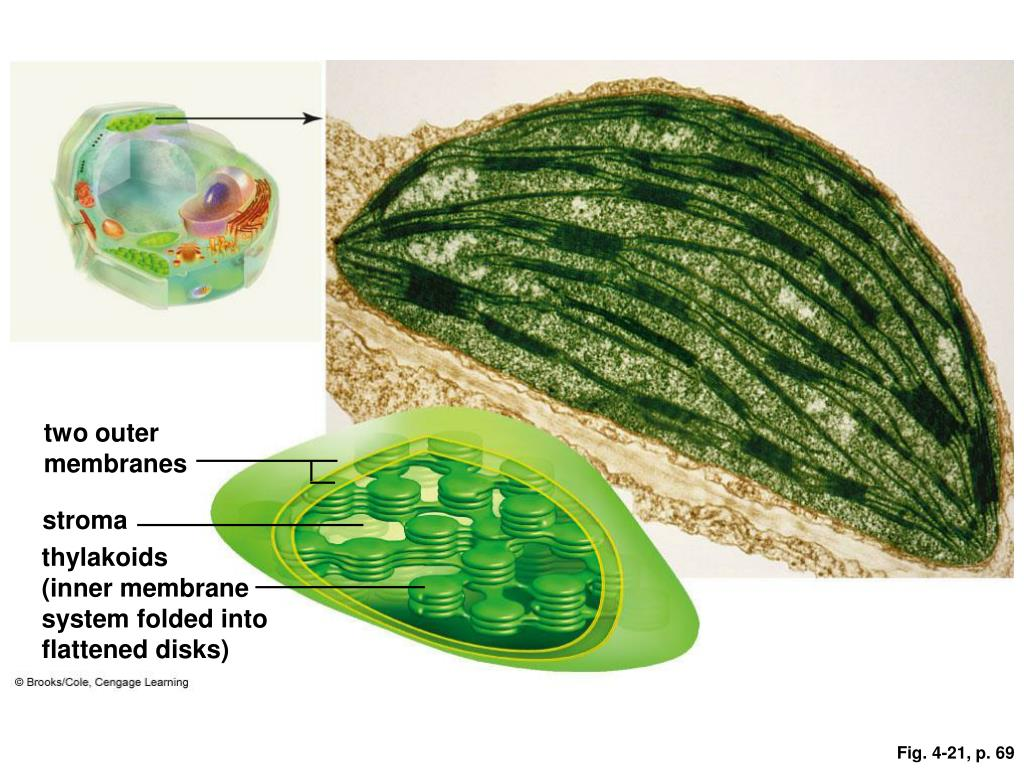 two outer membranes