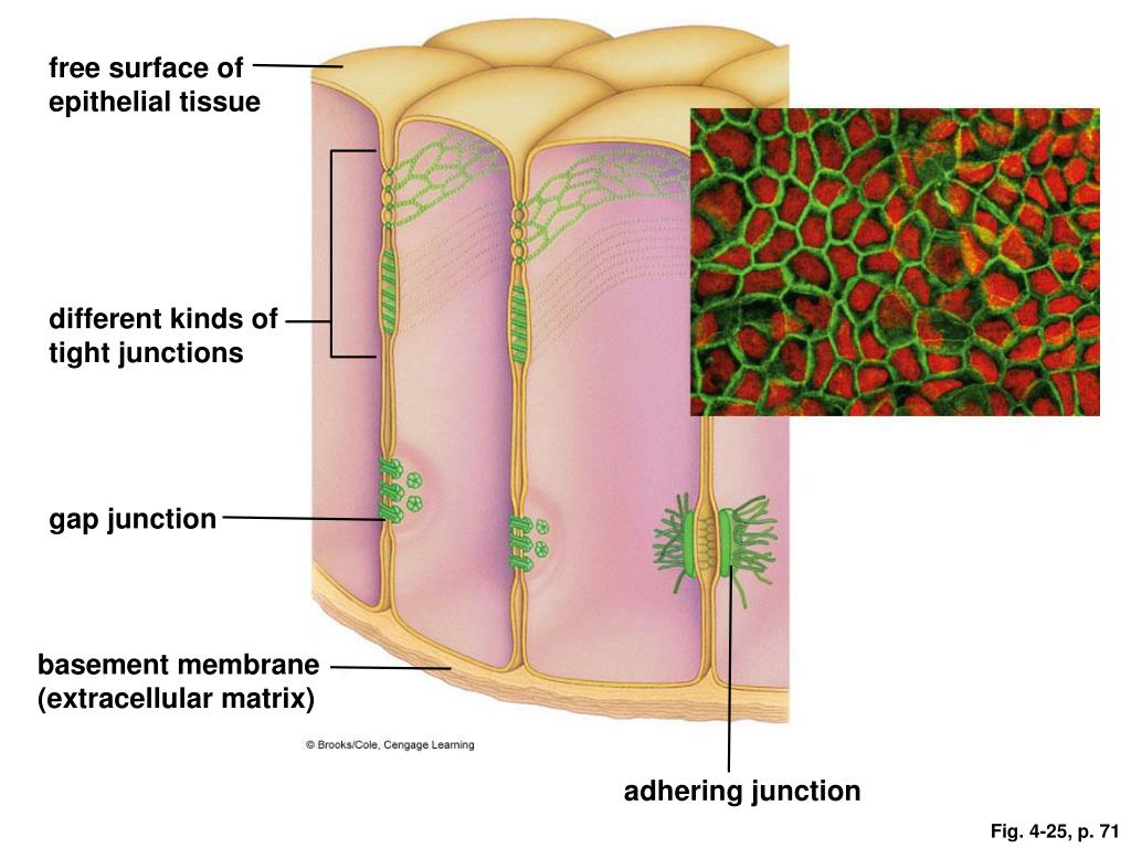 free surface of epithelial tissue