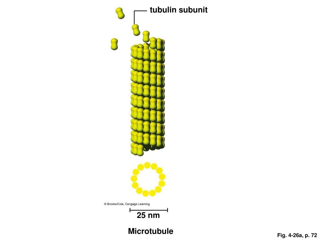 tubulin subunit
