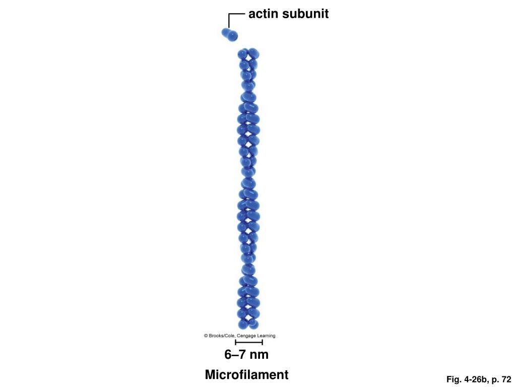 actin subunit