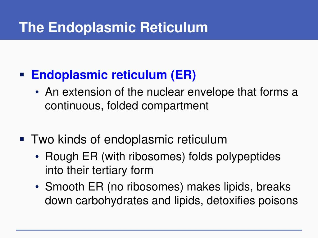 The Endoplasmic Reticulum