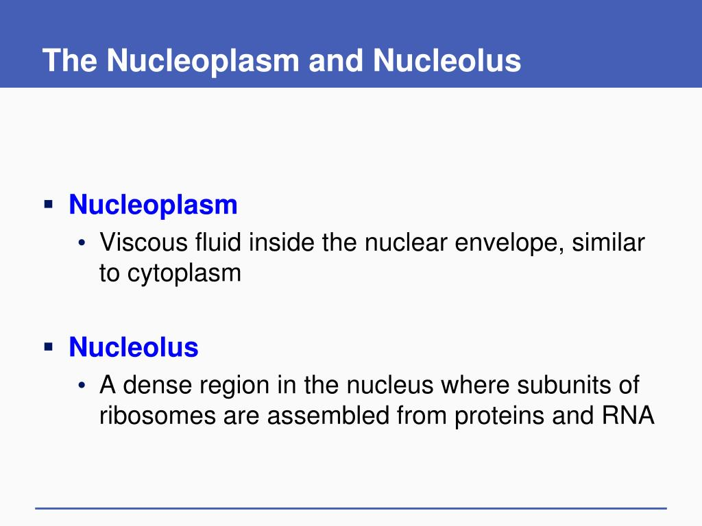The Nucleoplasm and Nucleolus