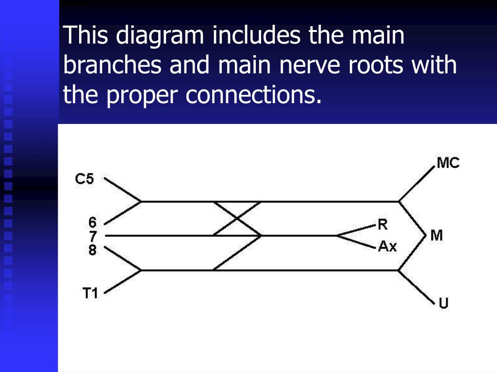 This diagram includes the main branches and main nerve roots with the proper connections.