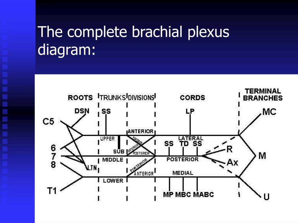 The complete brachial plexus diagram: