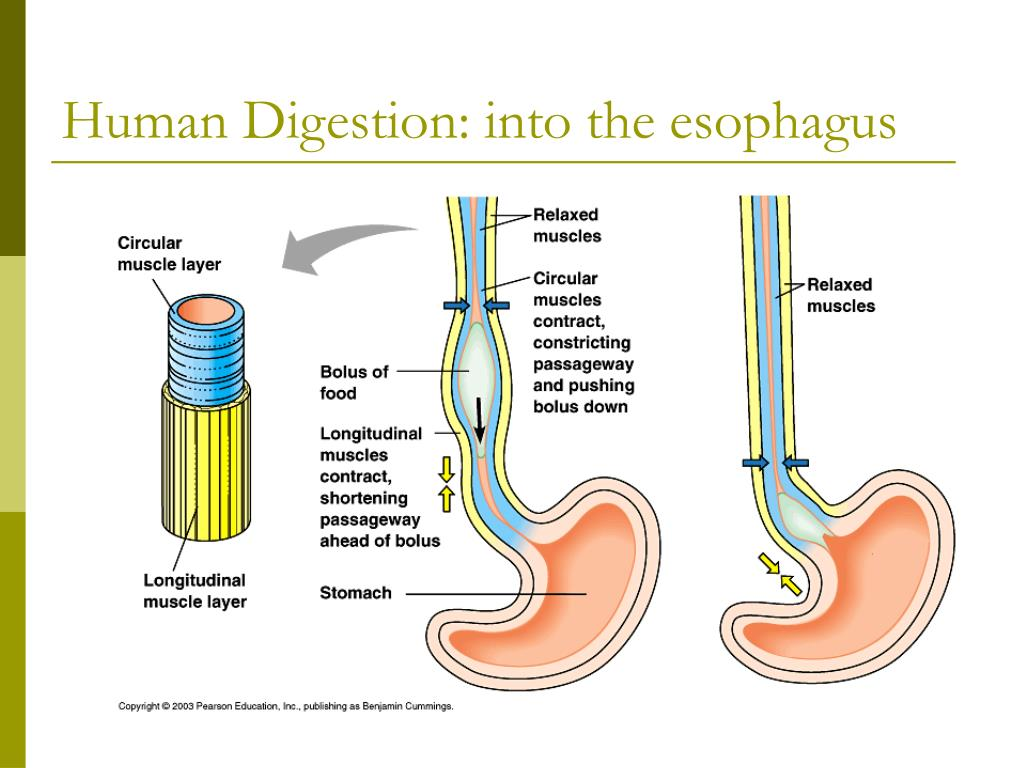 Human Digestion: into the esophagus