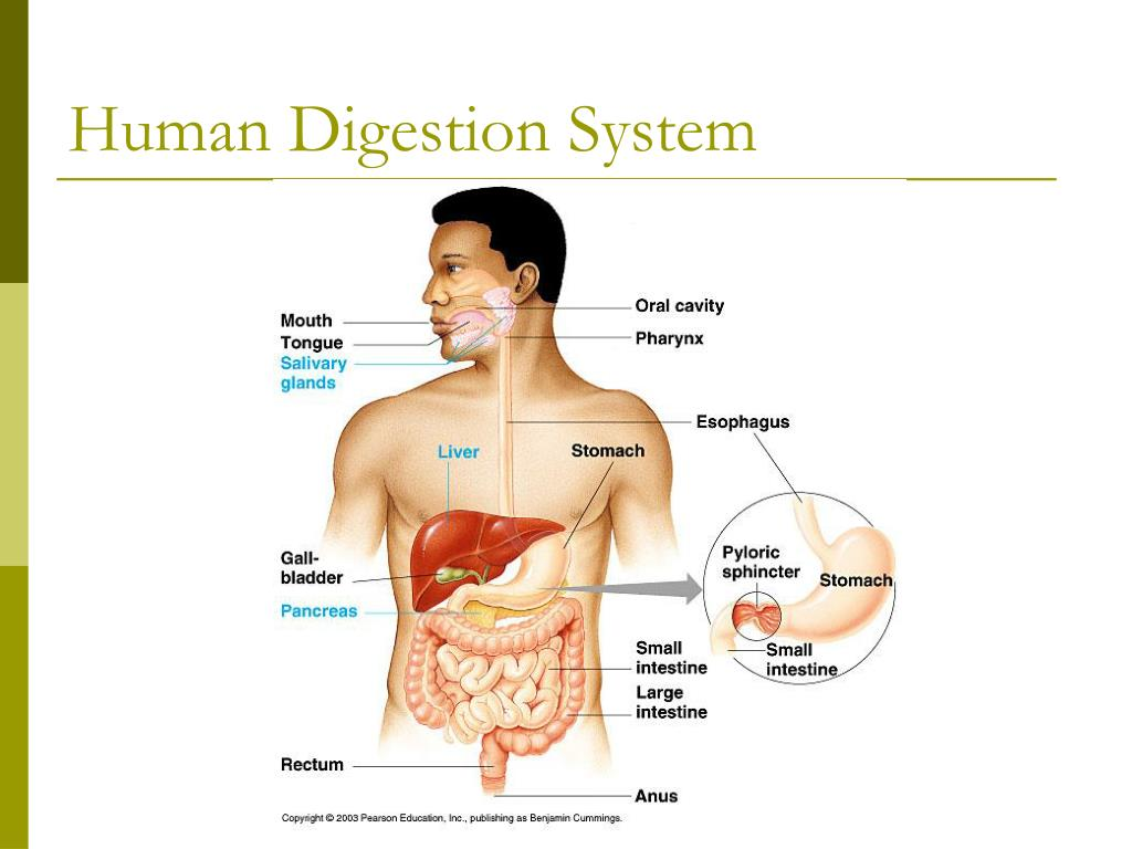 Human Digestion System