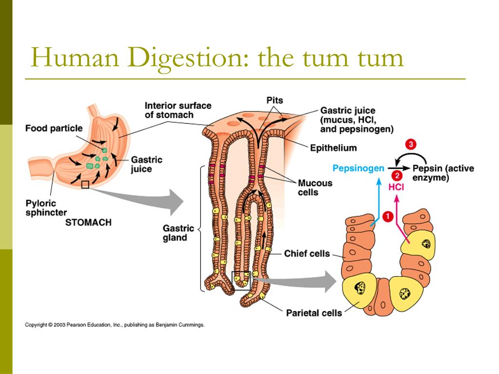 Human Digestion: the tum tum