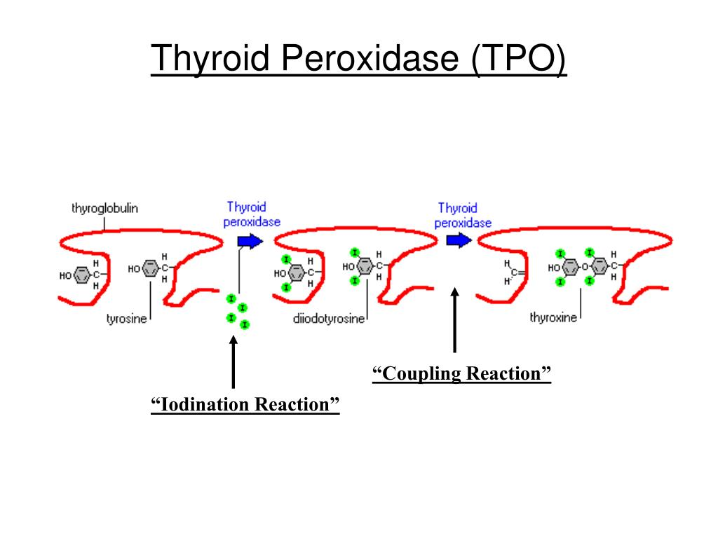 Thyroid Peroxidase (TPO)