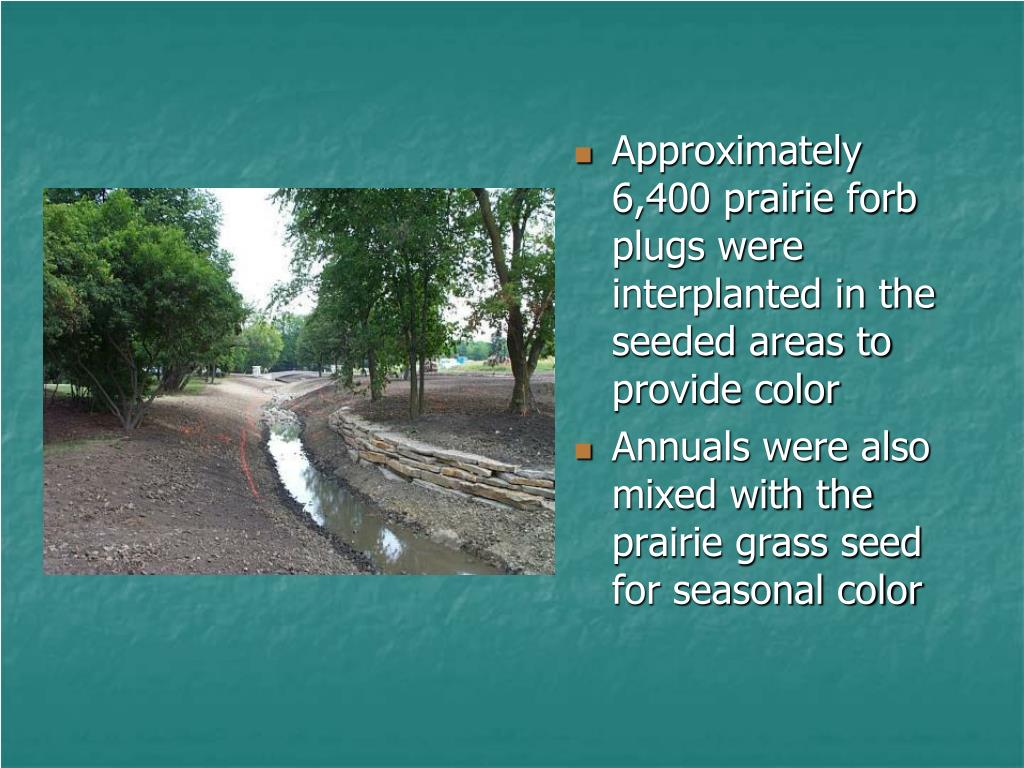 Approximately 6,400 prairie forb plugs were interplanted in the seeded areas to provide color