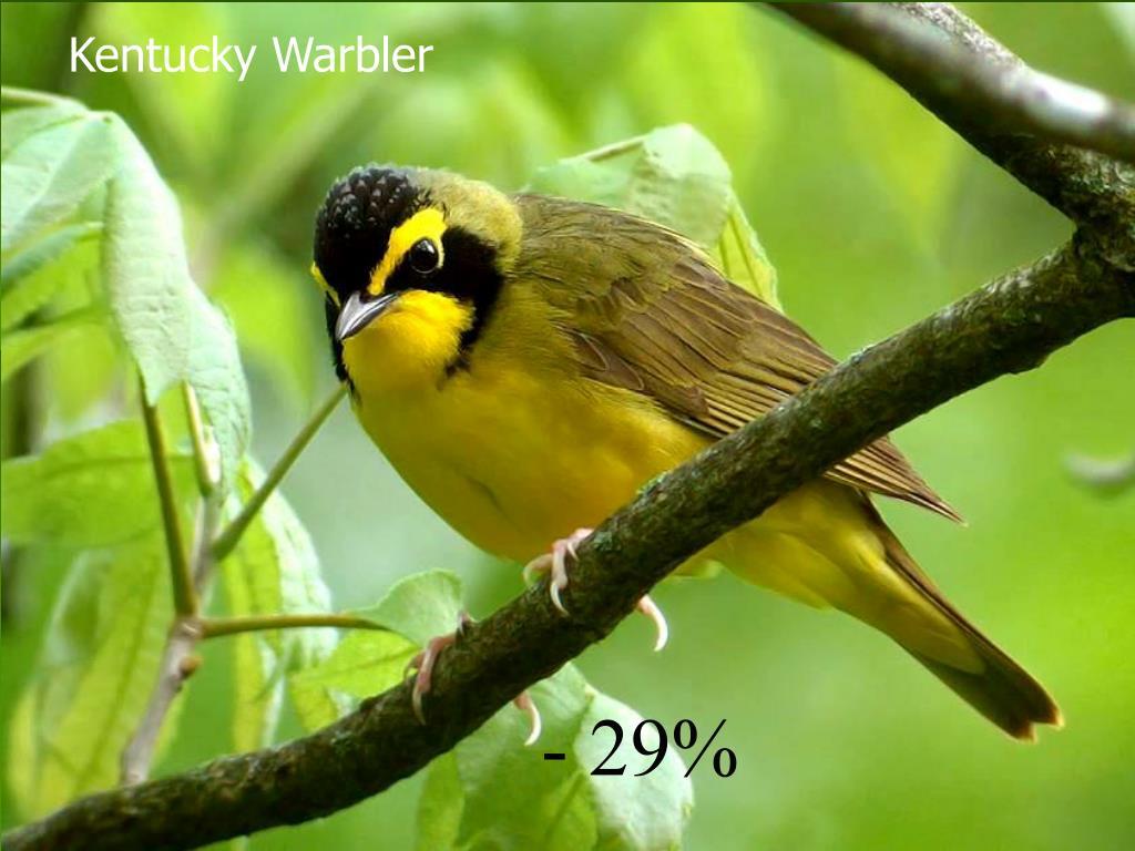 Kentucky Warbler