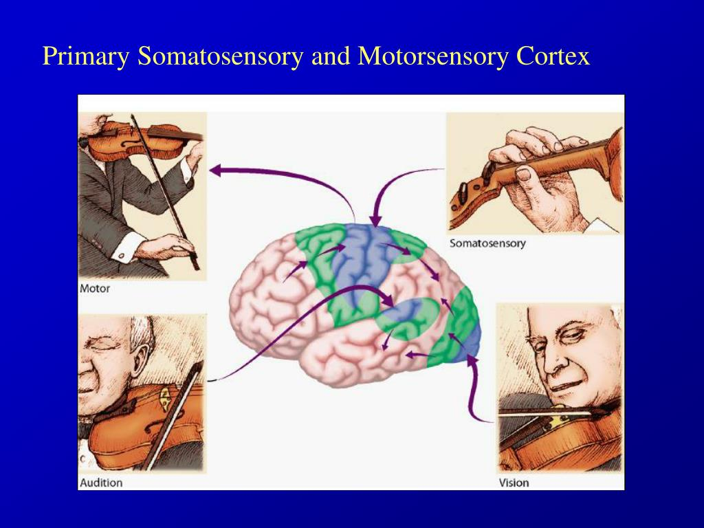 Primary Somatosensory and Motorsensory Cortex