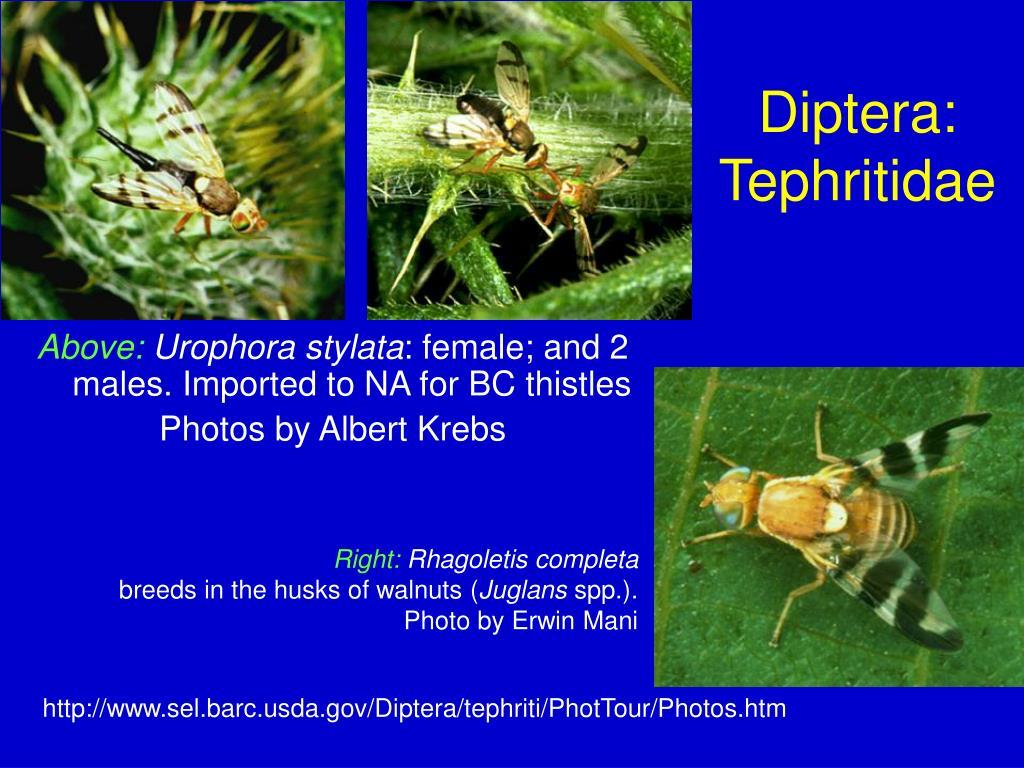 Diptera: Tephritidae