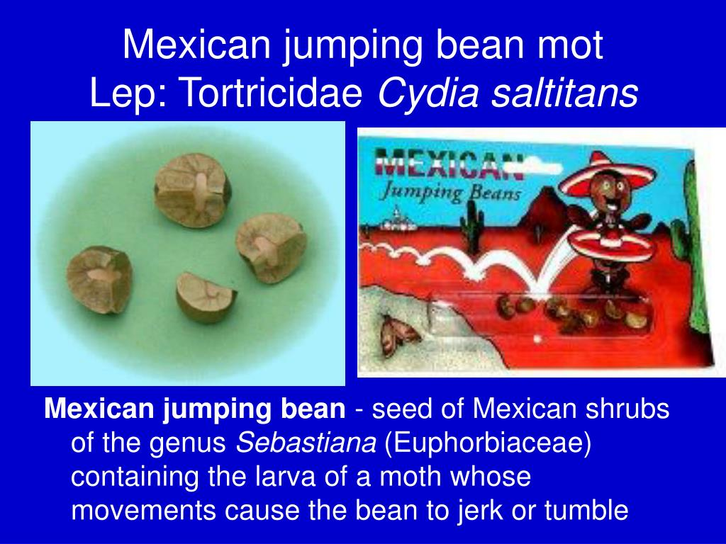 Mexican jumping bean mot