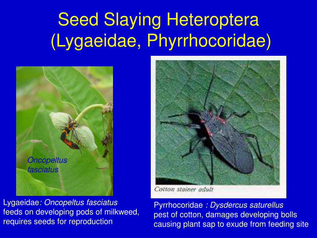 Seed Slaying Heteroptera
