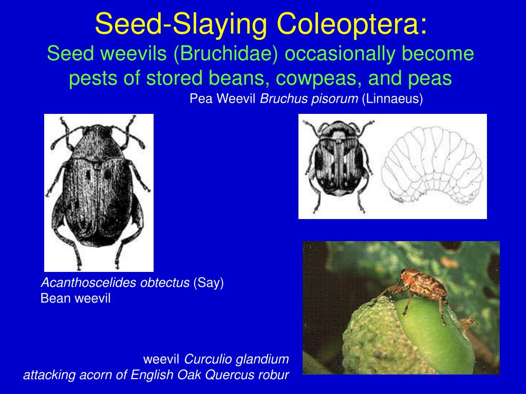 Seed-Slaying Coleoptera: