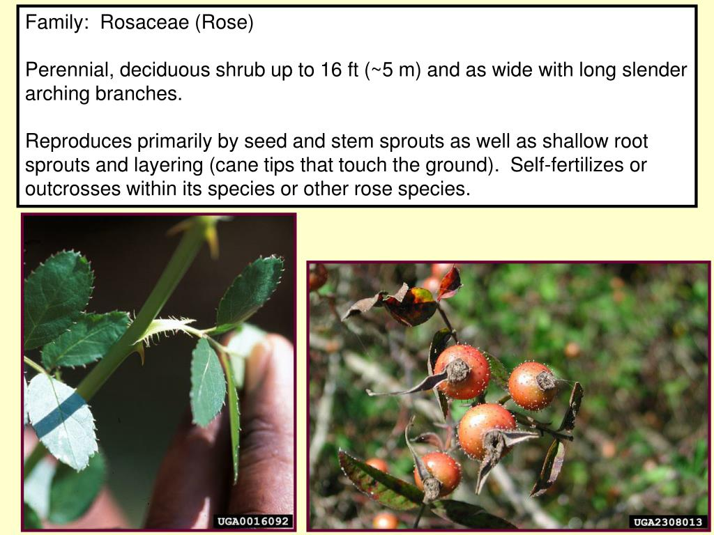 Family:  Rosaceae (Rose)