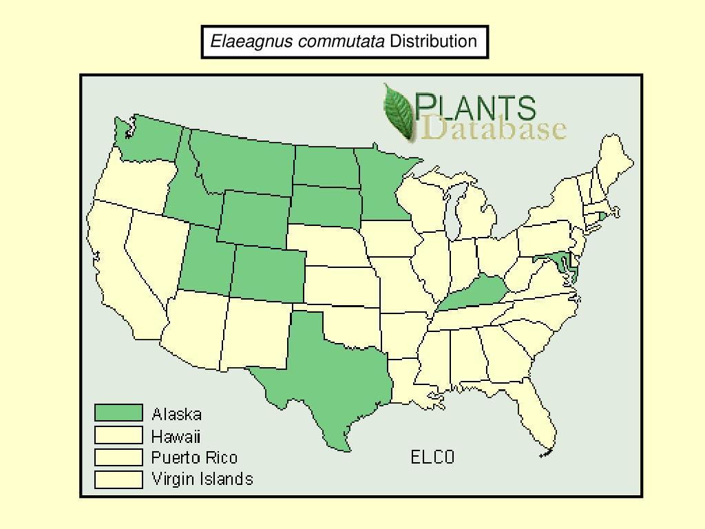 Elaeagnus commutata