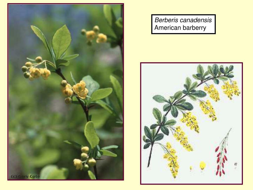 Berberis canadensis
