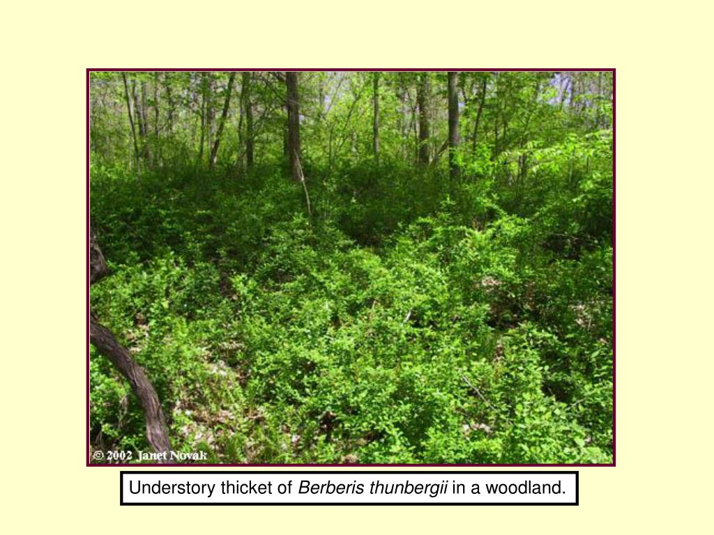 Understory thicket of