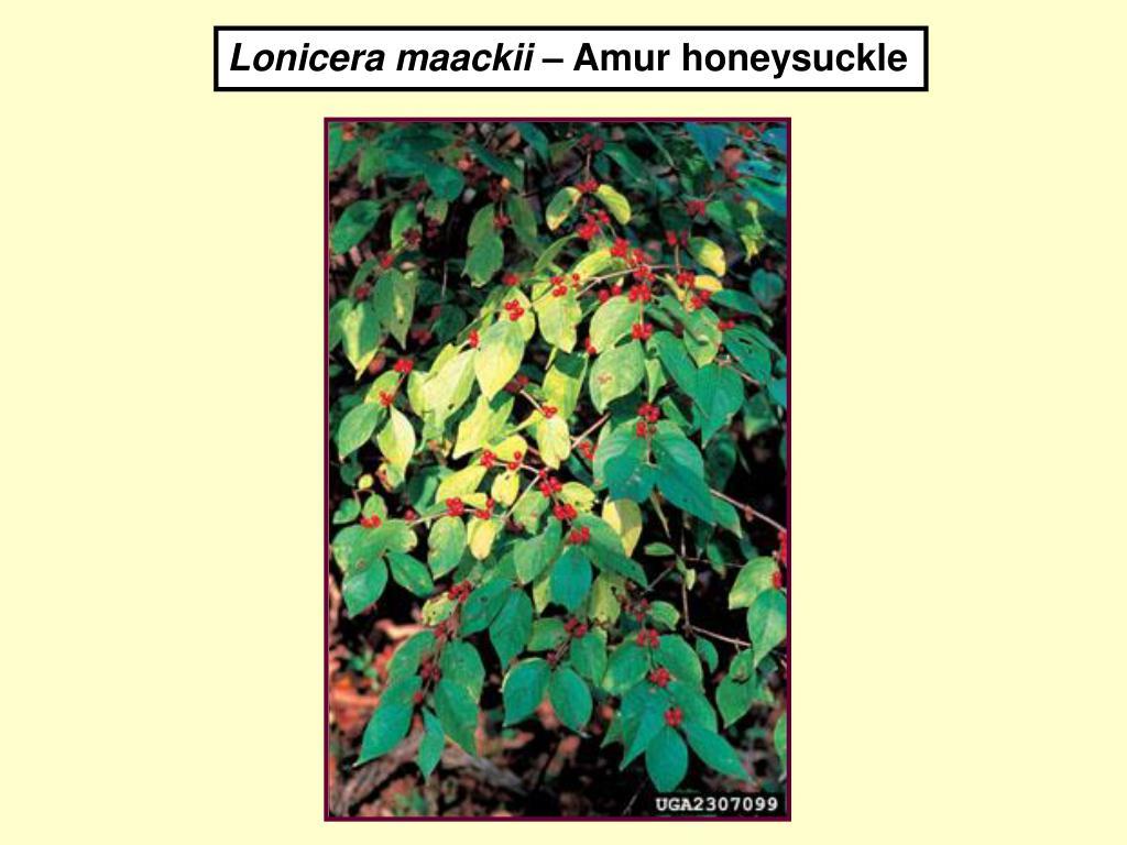 Lonicera maackii