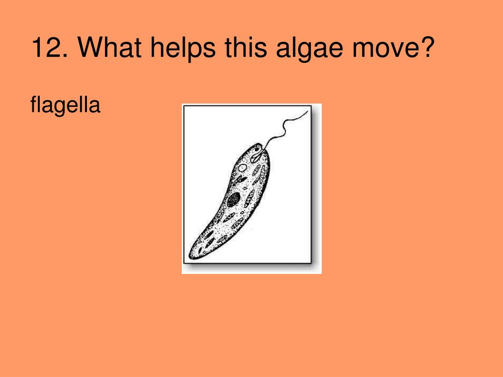 12. What helps this algae move?