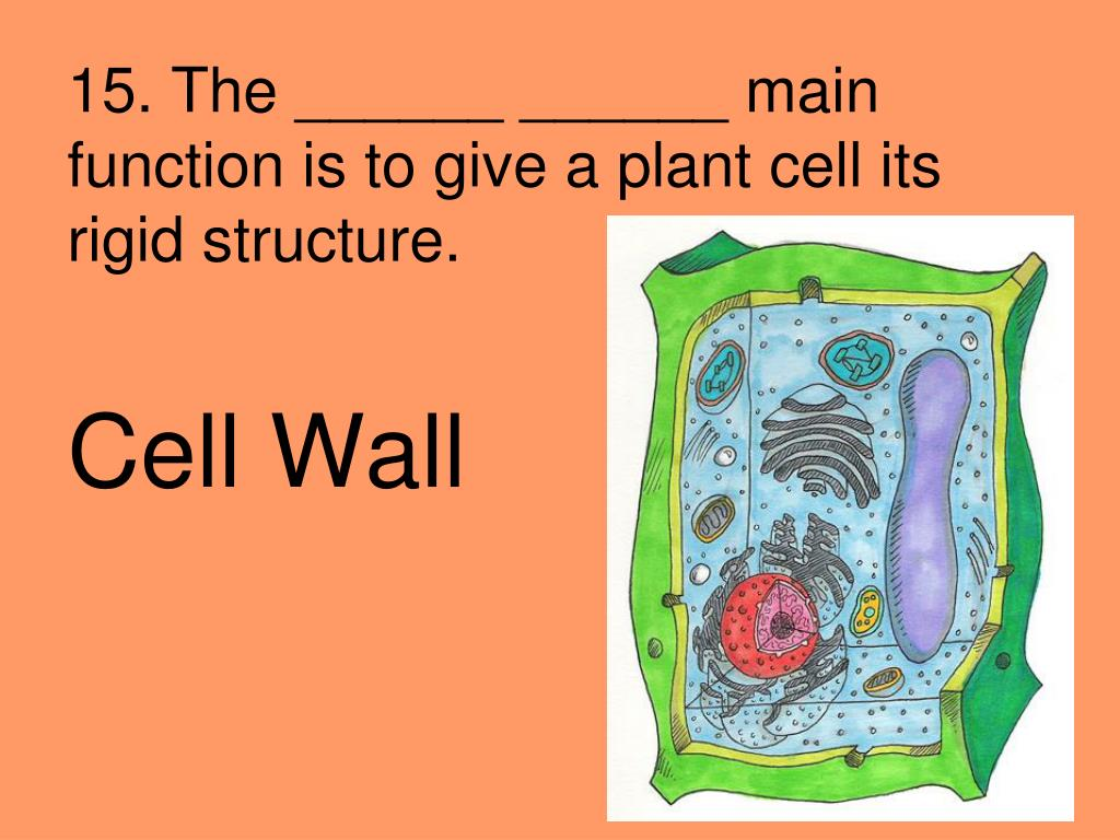 15. The ______ ______ main function is to give a plant cell its rigid structure.