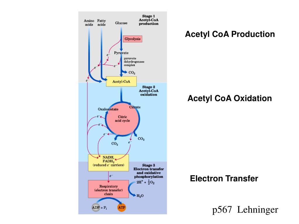 Acetyl CoA Production