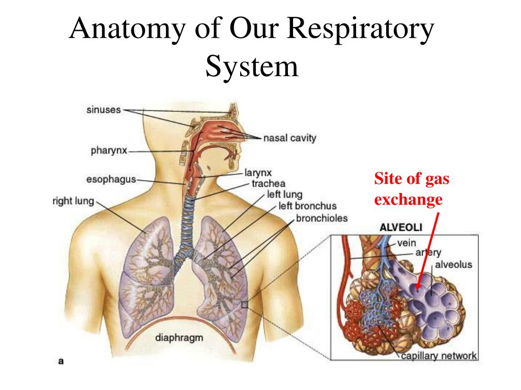 Anatomy of Our Respiratory System