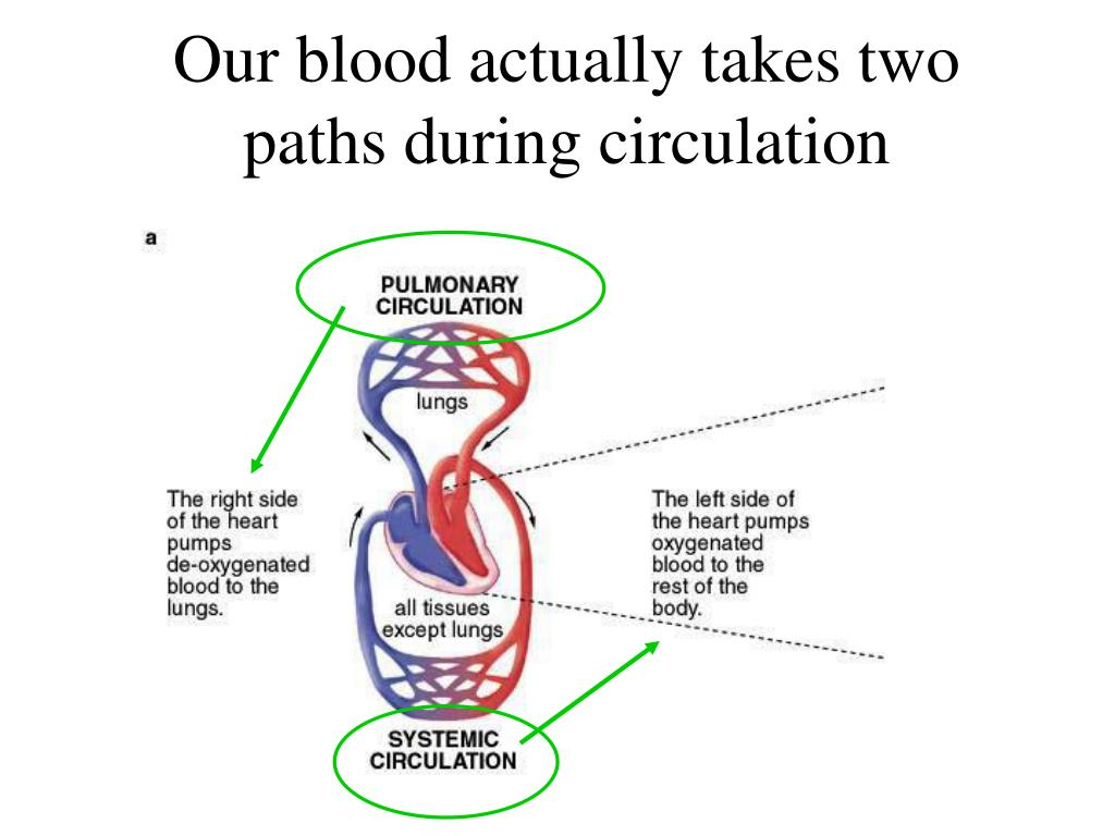 Our blood actually takes two paths during circulation