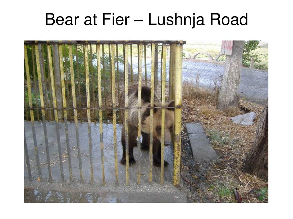 Bear at Fier – Lushnja Road
