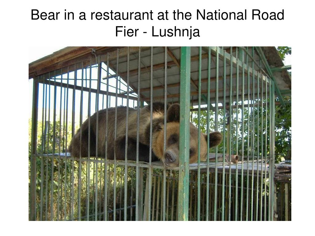 Bear in a restaurant at the National Road Fier - Lushnja