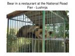 bear in a restaurant at the national road fier lushnja