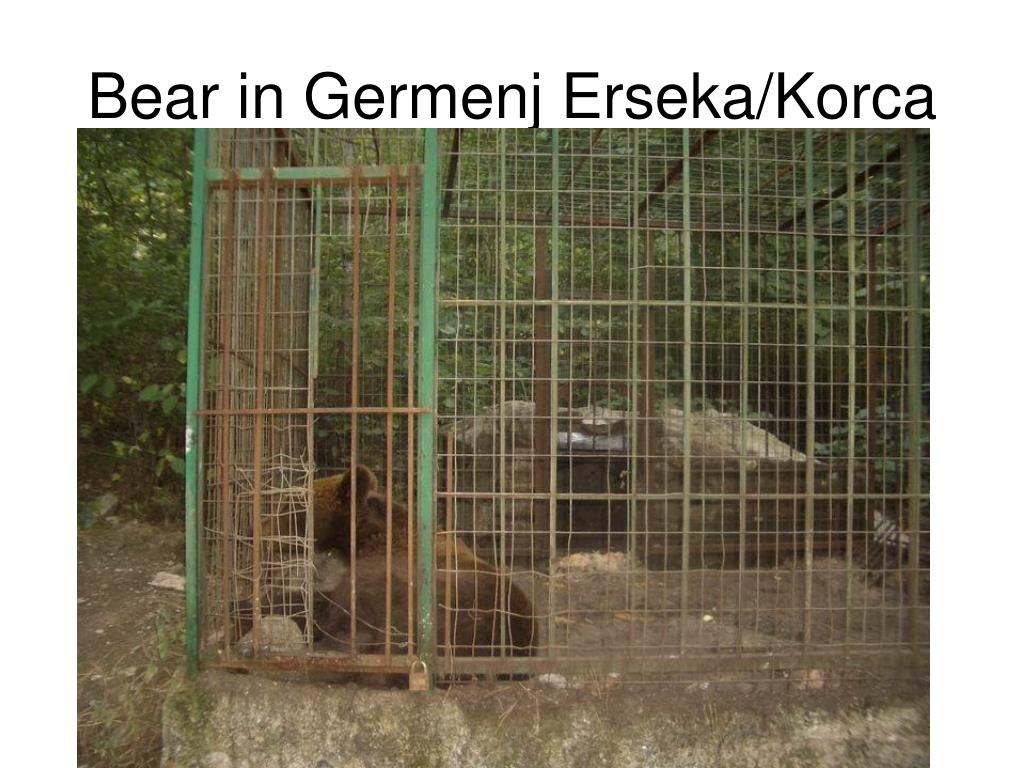 Bear in Germenj Erseka/Korca
