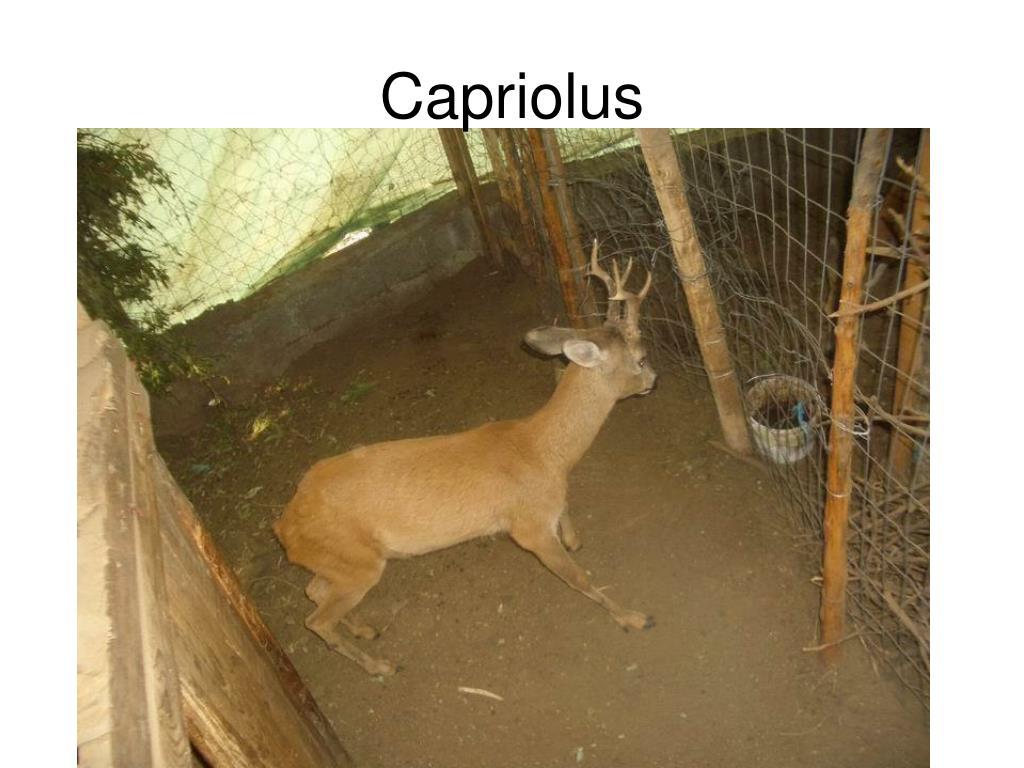 Capriolus