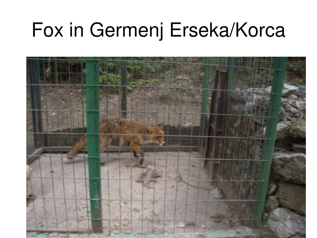 Fox in Germenj Erseka/Korca