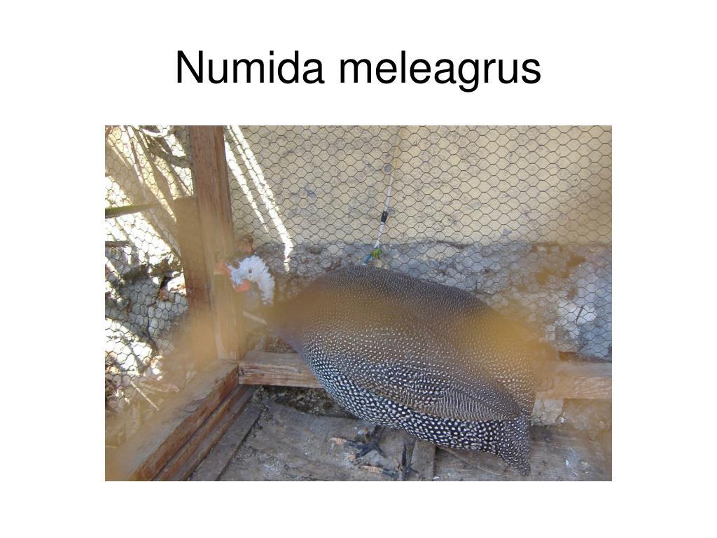Numida meleagrus