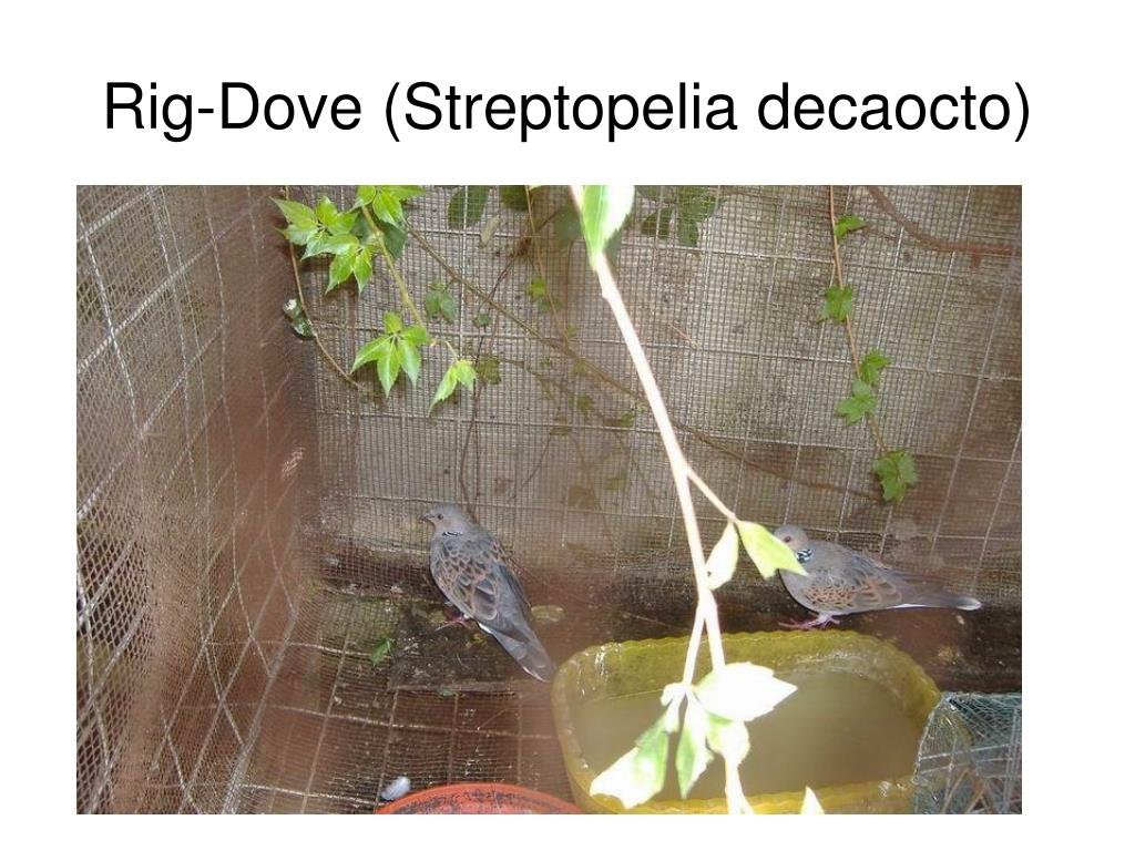 Rig-Dove (Streptopelia decaocto)