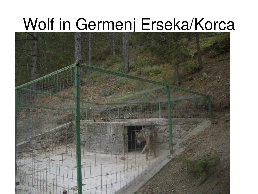 Wolf in Germenj Erseka/Korca