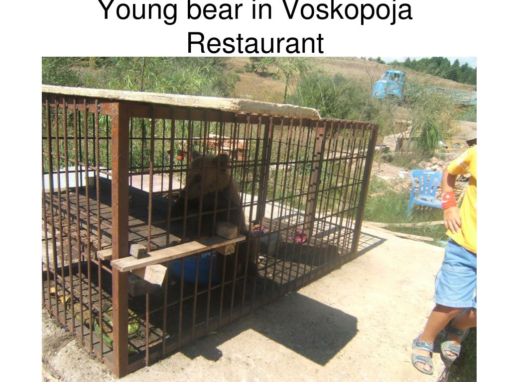 Young bear in Voskopoja Restaurant