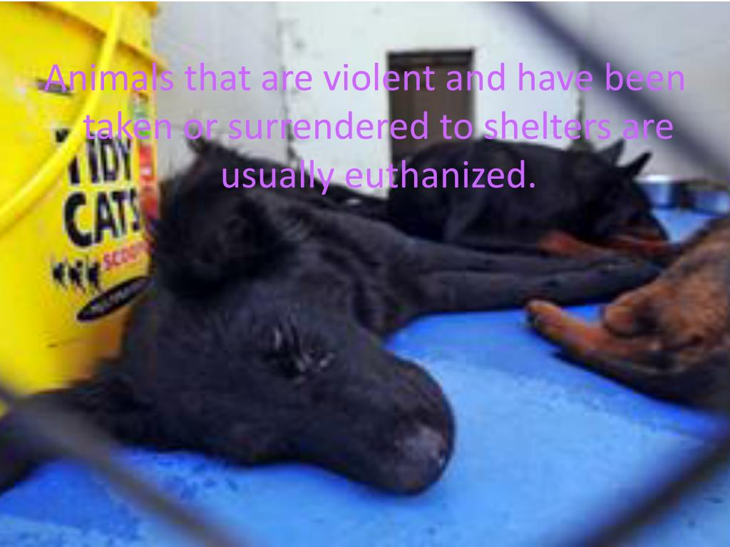 Animals that are violent and have been taken or surrendered to shelters are usually euthanized.