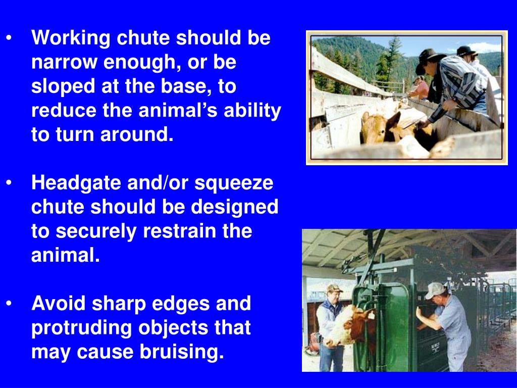 Working chute should be narrow enough, or be sloped at the base, to reduce the animal's ability to turn around.