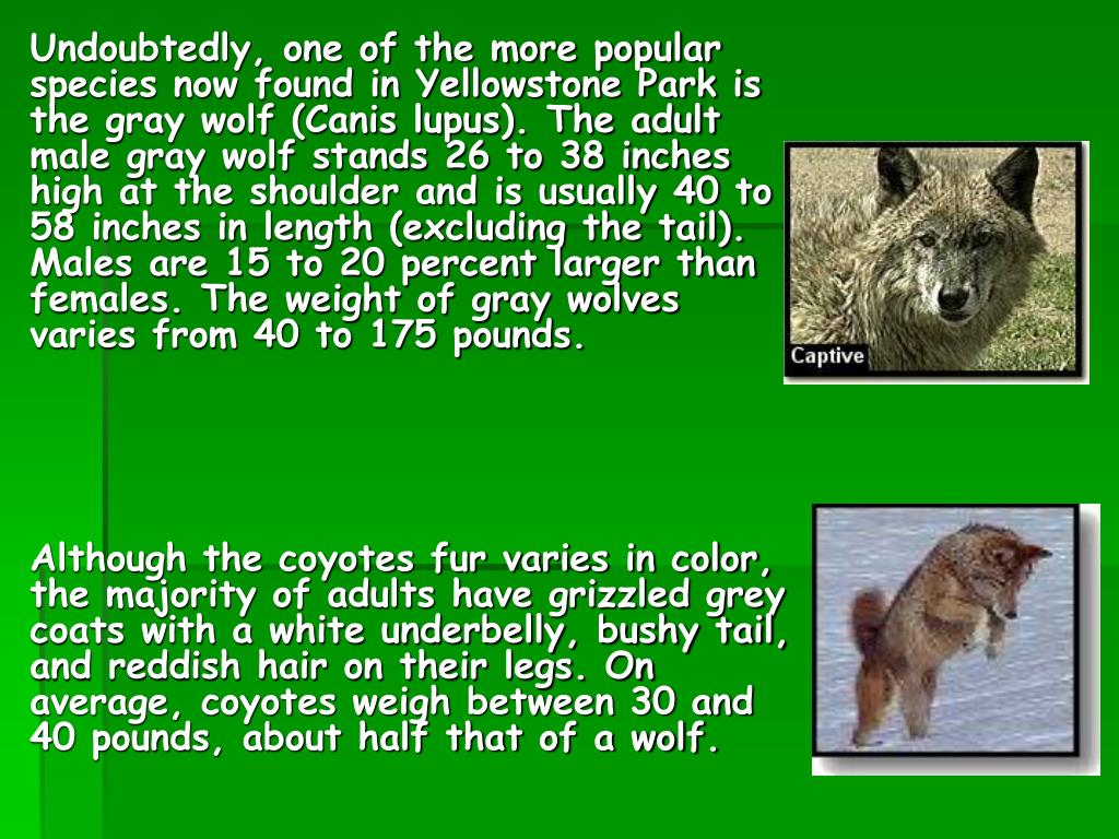 Undoubtedly, one of the more popular species now found in Yellowstone Park is the gray wolf (Canis lupus). The adult male gray wolf stands 26 to 38 inches high at the shoulder and is usually 40 to 58 inches in length (excluding the tail). Males are 15 to 20 percent larger than females. The weight of gray wolves varies from 40 to 175 pounds.