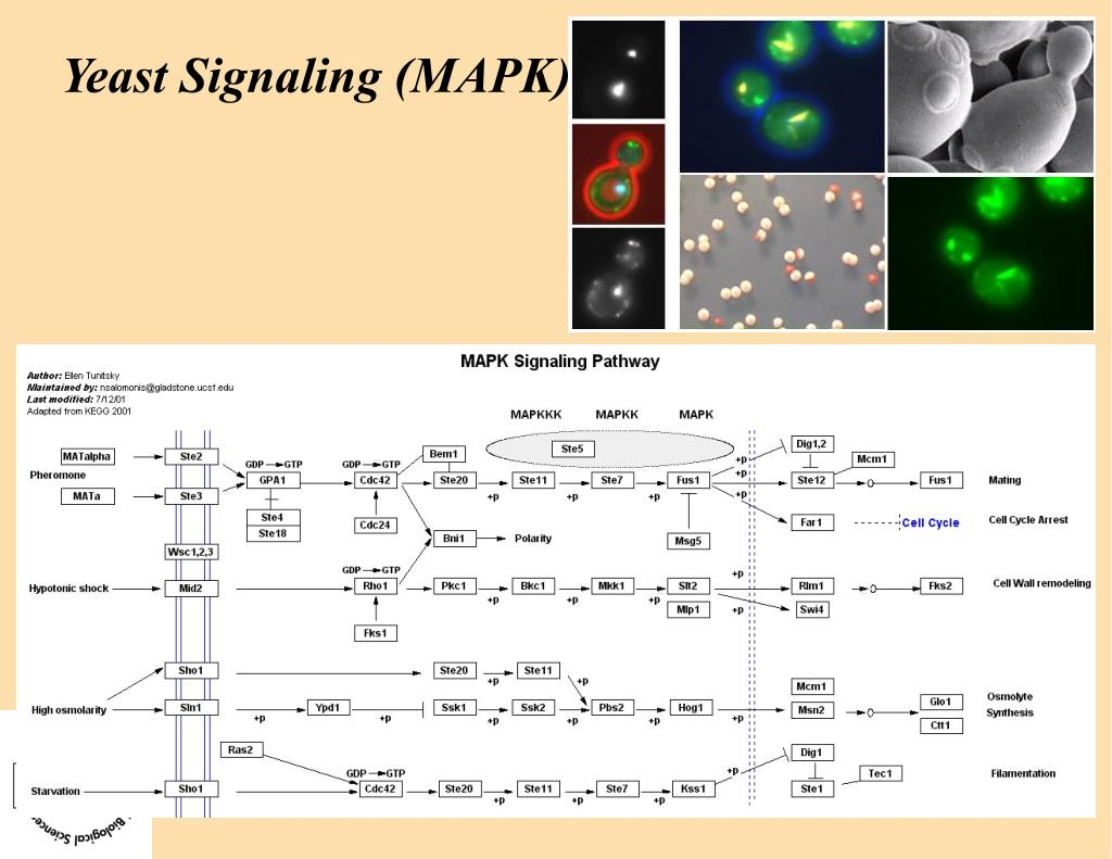 Yeast Signaling (MAPK)