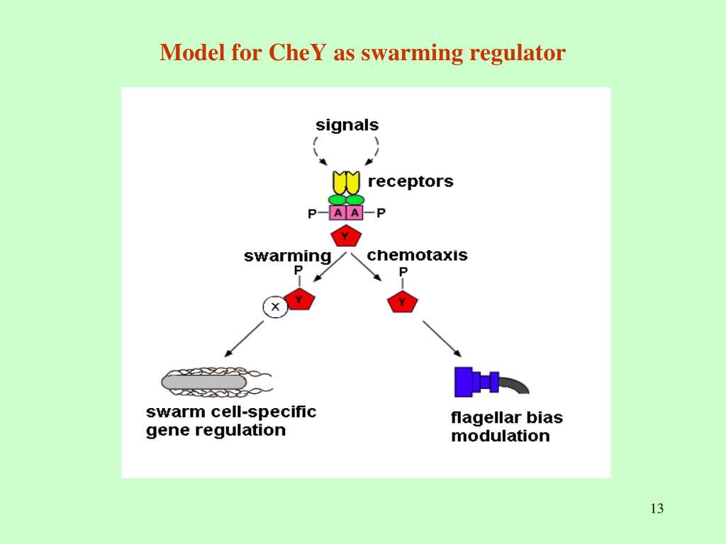 Model for CheY as swarming regulator