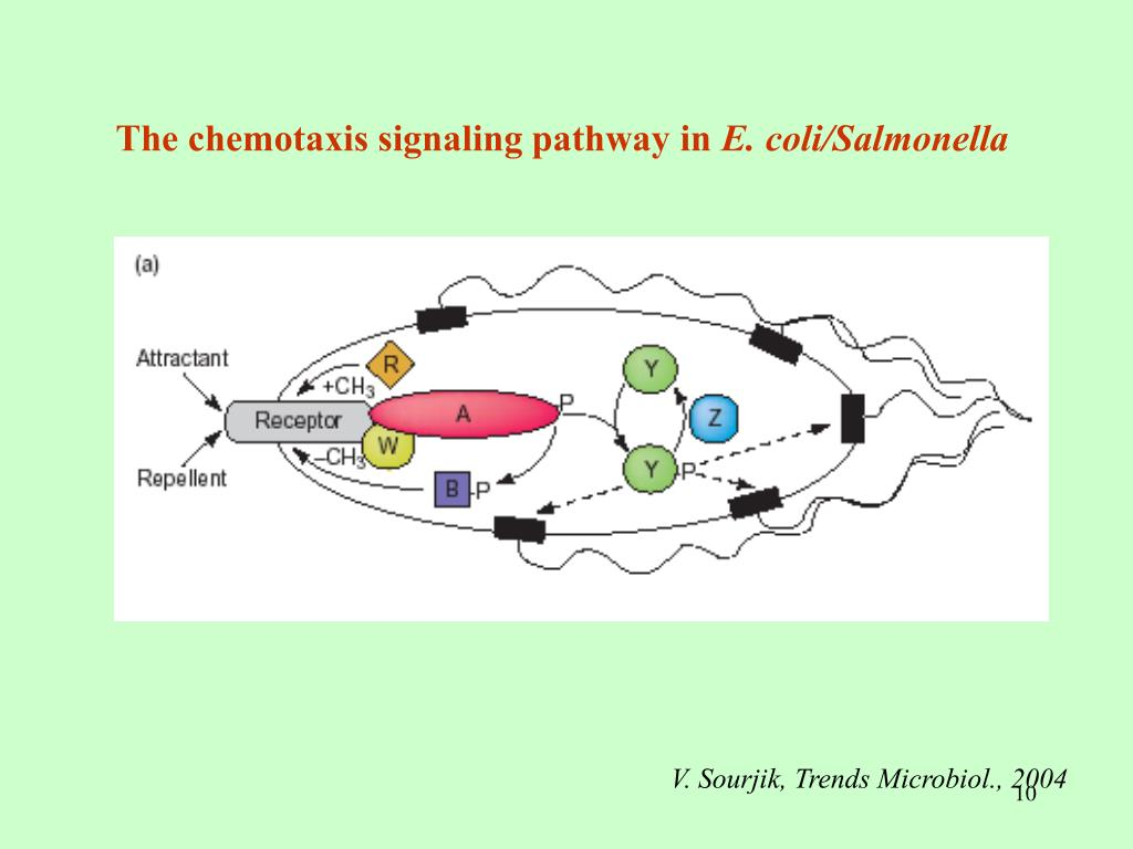 The chemotaxis signaling pathway in
