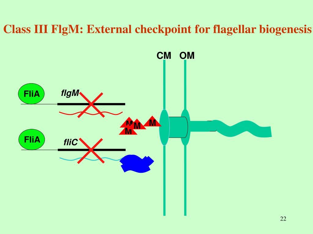 Class III FlgM: External checkpoint for flagellar biogenesis